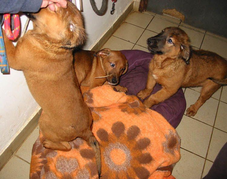 Adoption de IVANA Chiots%20de%20Tina_20140116171221